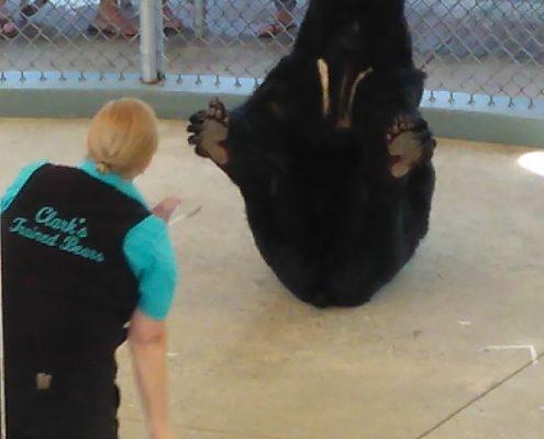Adorable black bear